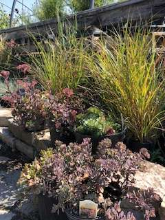 Perennial Grasses and Sedum